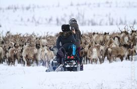 Migrating reindeer, Northwest Territories