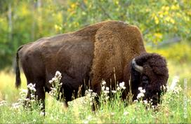 Wild plains bison, Banff National Park