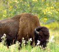Bison grazing summer