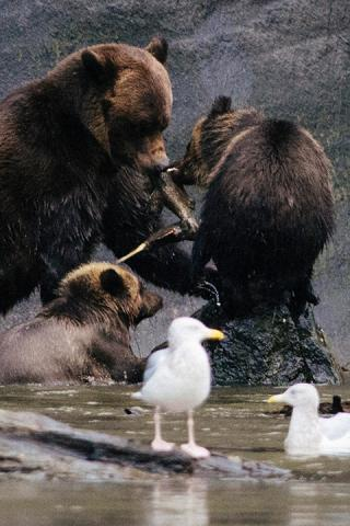 Wildlife Viewing Grizzly Bears Mother and Cubs